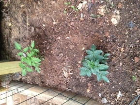 My two tomato plants. One is an early girl plant, which supposedly means I'll have tomatoes in 50 days!
