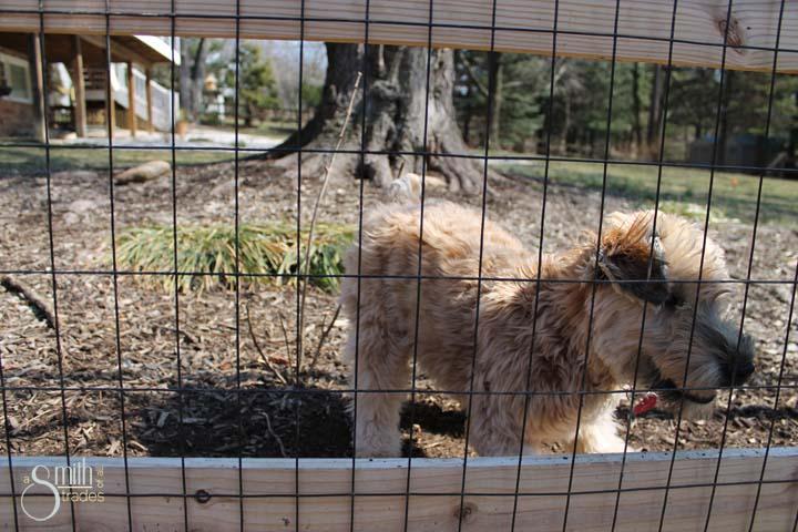 Winnie running at fence
