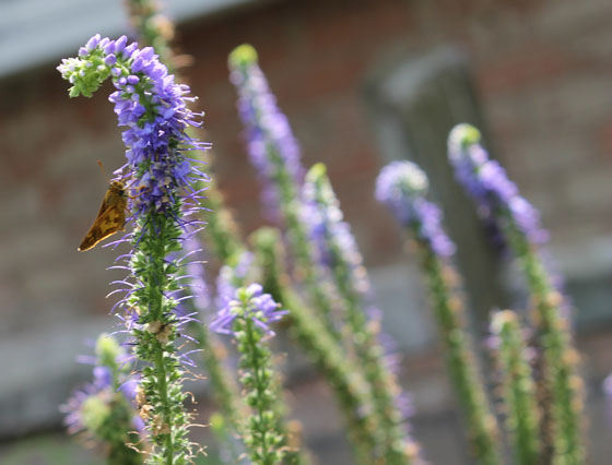 Speedwell butterfly