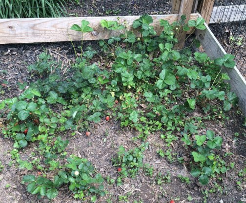 Strawberry-Patch