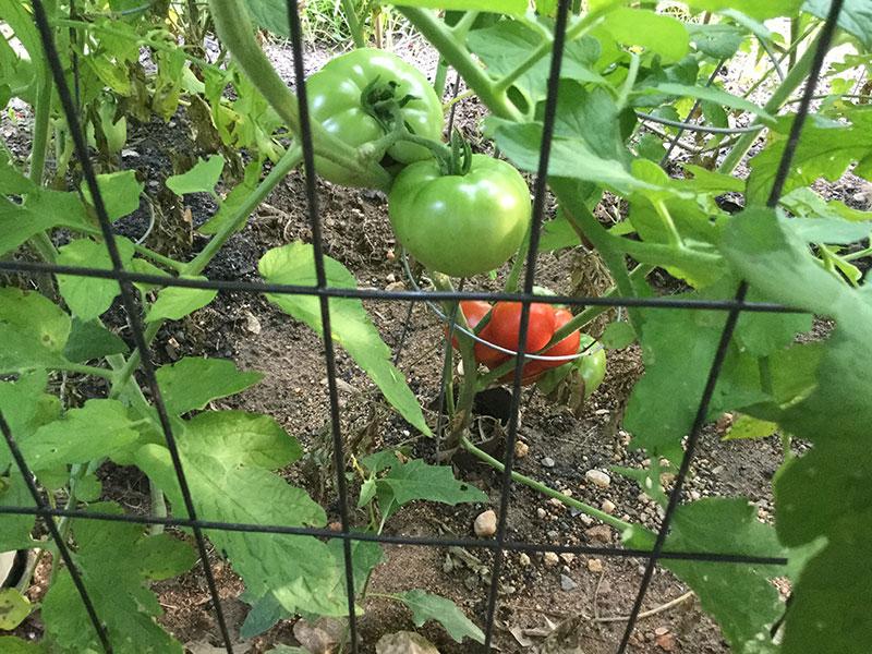 RipeTomatoes
